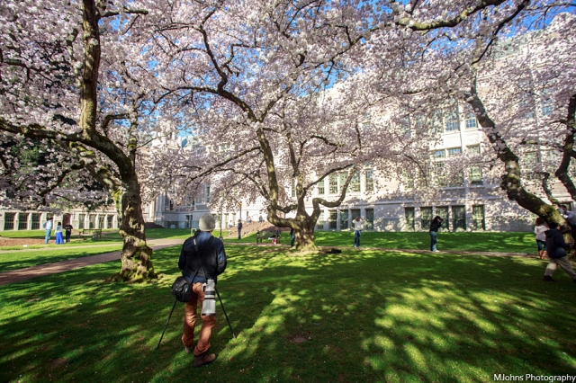 Cherry blossom at University of Washington at Seattle